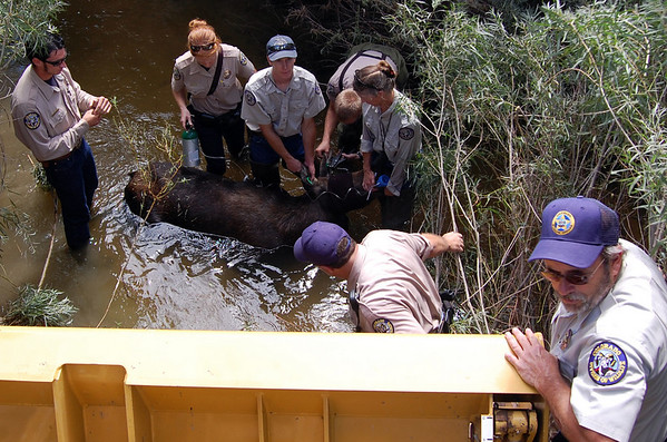 """A series of photos showing a moose in Erie Colorado. The animal was tranquilized and relocated to the mountains.<br /> Photos courtesy the Town of Erie<br /> For more photos go to  <a href=""""http://www.dailycamera.com"""">http://www.dailycamera.com</a>"""