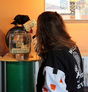 Kodi the Cache Crow taking a donation.