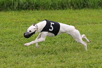 MWRA Whippet Racing May2015