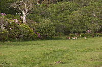 Fallow deer just behind the castle