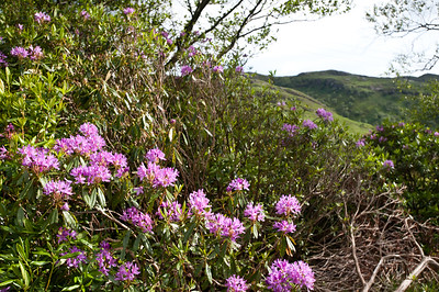 Lots of magenta flora at this time of year setting off the green as we approach the south of Mull