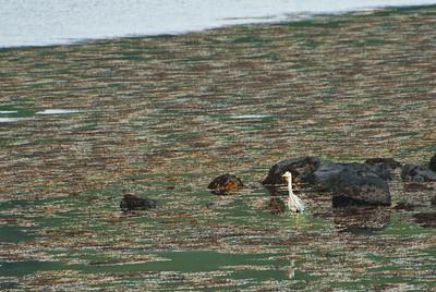 Loch Spelve - first of Heron sightings