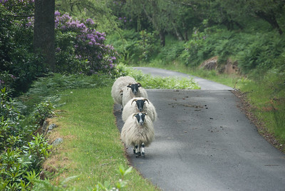 Maclean sheep? Death or Victory?