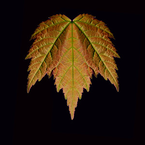 Maple Reflection - 2013. A back lit image of a spring Japanese Maple leaf. The right half of the leaf has been reflected over to the left side of the image to provide symmetry.