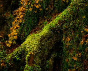 Moss Cloaked - 2013. These giant maple roots were photographed in the Hoh Rainforest on the Olympic peninsula in Washington state.