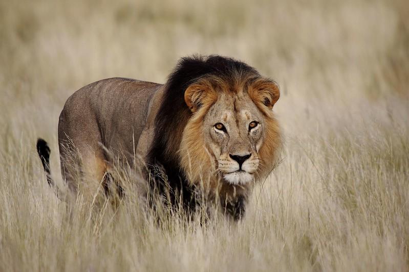 13900953 - male lion  panthera leo