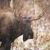 34386433 - a bull moose the snowfall