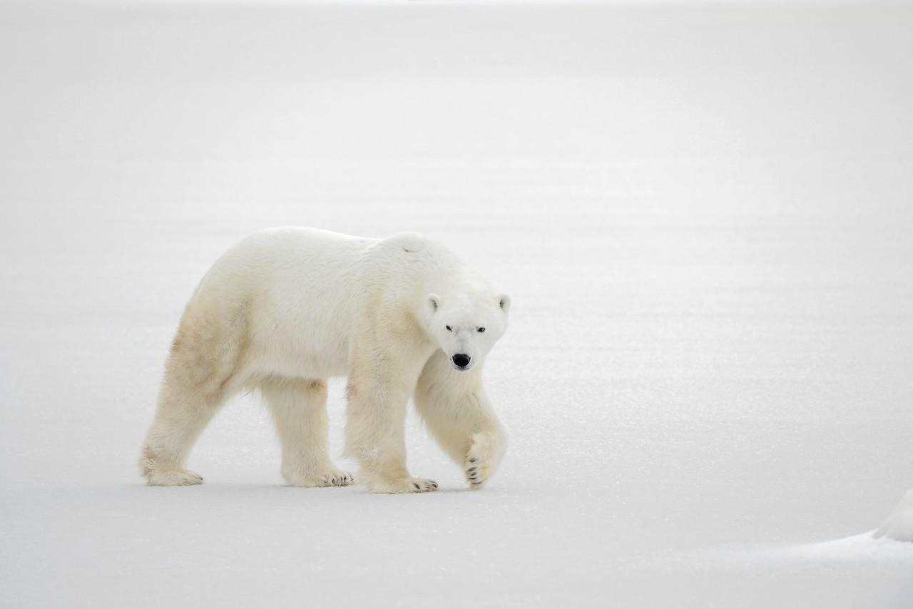 8909506 - a polar bear going on snow.
