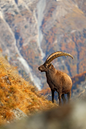 51633085 - alpine ibex, capra ibex ibex, with autumn orange larch tree in background, horned animal in the rock mountain nature habitat, national park gran paradiso, italy