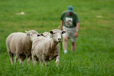 Sheep heading to the pen after a sheep dog trial.