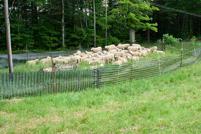 Sheep used in the sheep dog trials.