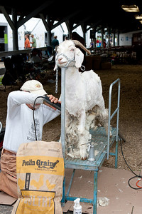 A goat being sheared.