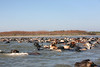 1176 Swimming Cattle