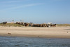 1145 Cattle on the Beach