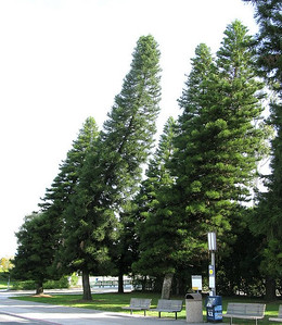 These are Cook Pines. No matter what continent they grow in , they will be learning towards the equator.