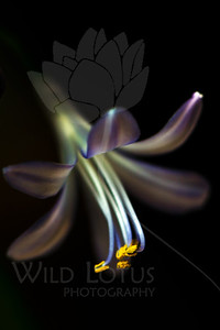 Starlight in Watercolor  Flower pictured :: Agapanthus  Flower provided by :: Abloom  051412_008983 ICC sRGB 16in x 24in pic