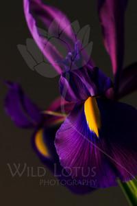 Duchess  Flower pictured :: Iris  032712_004236  ICC sRGB 16in x 24in pic