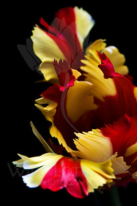 Stripy Tights  Flower pictured :: Parrot Tulip  032512_004122 ICC adobe 16in x 24in pic