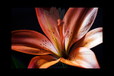 """Untitled  Flower featured in """"A Year In Bloom 2013 Calendar""""  Flower pictured :: Asiatic Lily  011812_003693 ICC adobe 16in x 24in pic 20in x 30in matte"""