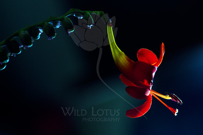 Tongue of Dragon  Flower pictured :: Crocosmia  Flower provided by :: Tagawa Gardens  081412_015302 ICC sRGB 16in x 24in pic