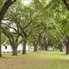 McLeod Oak Allee