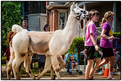 Llamas in Memorial Day parade on East High Street in Mount Vernon, Ohio. Date: May 28, 2012