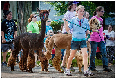 Alpacas in Memorial Day parade on East High Street in Mount Vernon, Ohio. Date: May 28, 2012