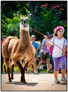 Llama in Memorial Day parade on East High Street in Mount Vernon, Ohio. Date: May 28, 2012