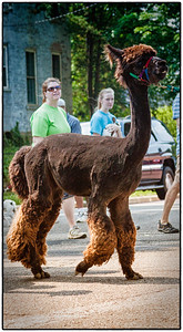 Alpaca in Memorial Day parade on East High Street in Mount Vernon, Ohio. Date: May 28, 2012