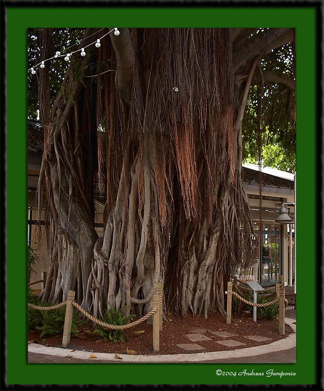 A banyan tree at Bayside