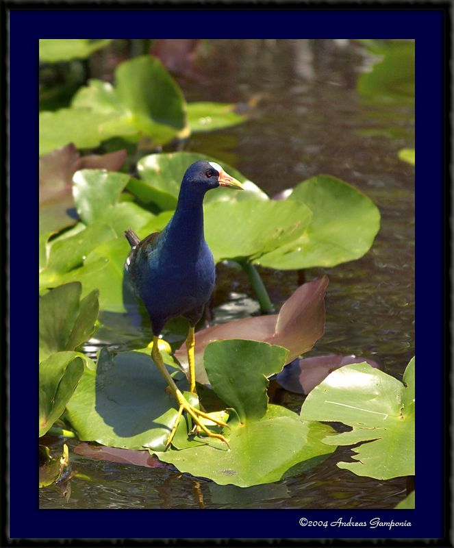 Sigh.... more tourists     (Purple Gallinule)