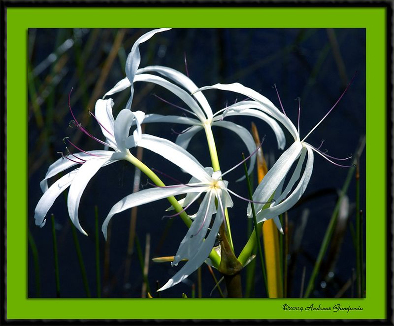 Florida Everglades Spiderlily