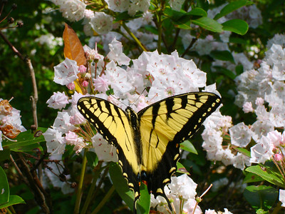 Mountain laurel was beautiful -- so was the butterfly.