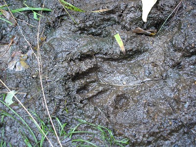 Racoon Track, front paw.