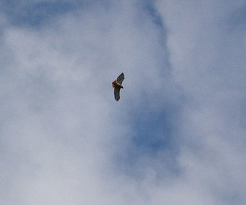 The red tail hawk has taken flight!