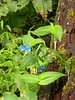 13 Aug 2003  A little blue flower..