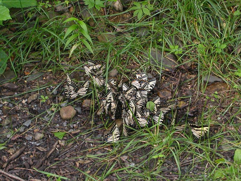 13 Aug 2003  A flock??, gaggle??, bevy??, swarm??  What the hell do you call a lot of butterflies?  They sure liked something on the ground!