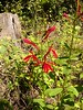 Cardinal flower....anyway that's what Cindy said!