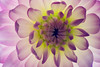 So Rings The Bell...<br /> <br /> Flower pictured :: Dahlia<br /> <br /> Flower provided by :: Babylon Floral<br /> <br /> 091414_005536 ICC sRGB 16x24 pic