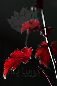 Silver Linings  Leaf pictured :: Coral Bells  Leaf provided by :: Babylon Floral  060612_010784 ICC sRGB 16in x 24in pic