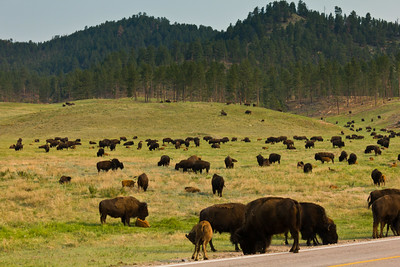 Series 3 of 26 - There were many bison too! Bison are known to be dangerous...