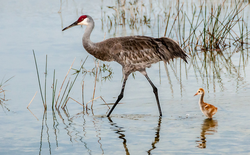 Sandhill Crane with its chick