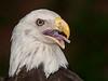 • Location - Audubon Center for Birds of Prey<br /> • Bald Eagle