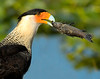 Eau Gallie Blvd West of I95 - Crested Caracara - Eating a Fish