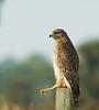 Viera Wetlands - Red-shoulder Hawk