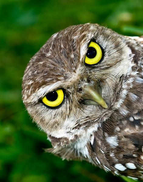 Burrowing Owl Sideways