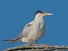 Tern posing for me