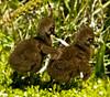 Viera Wetlands - Limpkin Chic - My Buddy