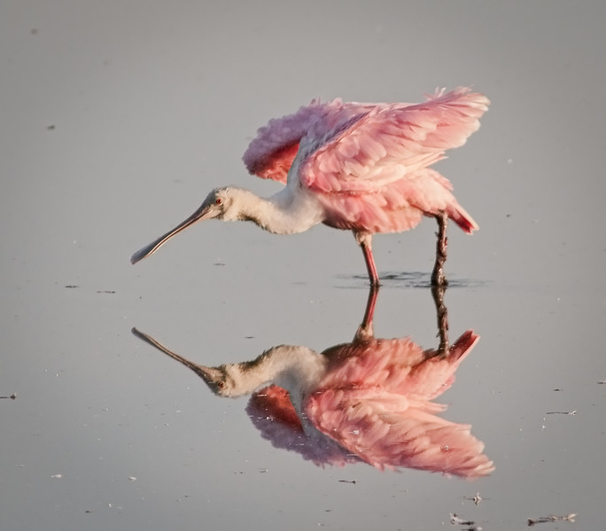 • Roseate Spoonbill<br /> • I'm just ruffling my feathers a little