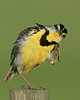 Easrern Meadowlark - I can stratch myself by only standing on one foot